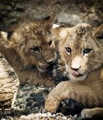stock photo of leo  - Barbary lion  - JPG
