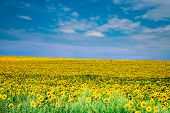 picture of sunflower  - sunflower with blue sky and beautiful sun  - JPG