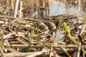picture of bird egg  - Birds nest with eggs under natural conditions in early spring - JPG
