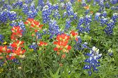 picture of bluebonnets  - A low angle view of Indian Paintbrush and Bluebonnets wildflowers in a Texas field - JPG