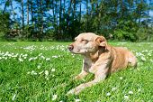 pic of cross-breeding  - Cross breed dog laying in grass and flowers - JPG