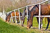 foto of herd horses  - Herd of Beautiful Young Horses Graze on the Farm Ranch Animals on Summer Pasture - JPG