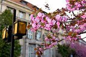 pic of sakura  - Spring time - JPG