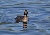 Постер, плакат: Straight Shot Of Grebe