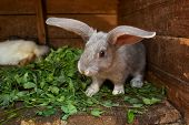 stock photo of rabbit hutch  - bunny which eats a clover at home  - JPG