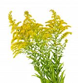 picture of ragweed  - Blooming goldenrod plant isolated on white background