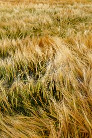 image of cross-hatch  - Soft Barley crop plants growing in Cotswolds countryside during Summer before harvest - JPG