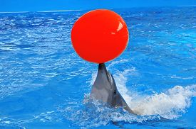 stock photo of bottlenose dolphin  - bottlenose dolphin in blue water with red ball - JPG