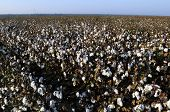 stock photo of pima  - Cotton in the field, Southern San Joaquin Valley, California, ready to harvest