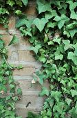 foto of english ivy  - Green English Ivy leafs growing all over an adobe brick wall - JPG