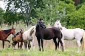 Purebred Arabian Mares And Foals On Natural Environment poster
