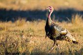Texas Turkey Walking At Sunset poster