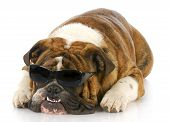 foto of crooked teeth  - adorable english bulldog wearing dark sunglasses with crooked teeth on white background - JPG