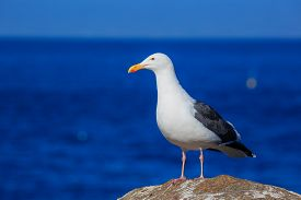 picture of mile  - Seagull at the Beautiful 17 mile coastline - JPG