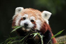 pic of panda  - Red panda  - JPG