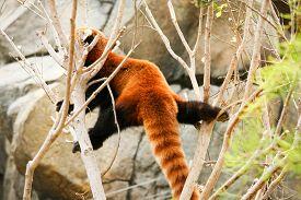 stock photo of panda  - Red panda climbing on tree at zoo - JPG
