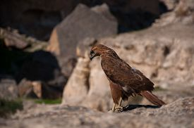 image of hawk  - The hawk - JPG
