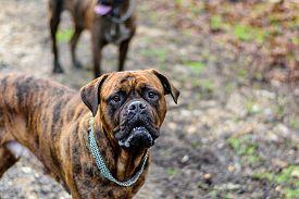 stock photo of bordeaux  - Cute and funny looking Douge de Bordeaux Dog - JPG