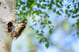 stock photo of woodpecker  - Great spotted woodpecker on birch tree next to hole with young bird having grubs and insect in his beak - JPG
