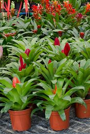 foto of bromeliad  - red pineapple flower blooming in pot - JPG
