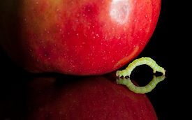picture of inchworm  - inchworm and red ripe apple isolated on black - JPG