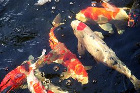 stock photo of fresh water fish  - Abstract images of Koi Fish swimming in water - JPG