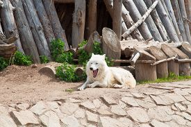 foto of white wolf  - Yawning white Wolf In A Zoo laying - JPG