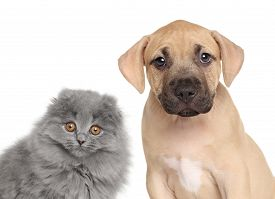 foto of scottish-fold  - Amstaff puppy and Scottish fold kitten isolated on white background - JPG