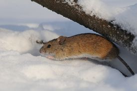 picture of field mouse  - Striped Field Mouse  - JPG