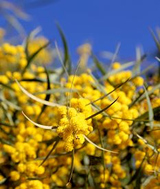 stock photo of mimosa  - branch of mimosa plant with round fluffy yellow flowers  - JPG