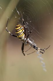 picture of black widow spider  - The spider weaves a web of outdoors - JPG