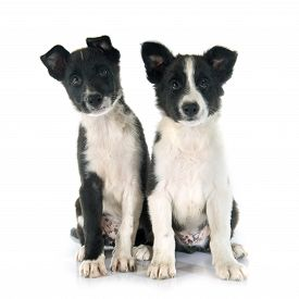 stock photo of collier  - puppies border collier in front of white background - JPG