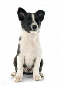 stock photo of collier  - puppy border collier in front of white background - JPG