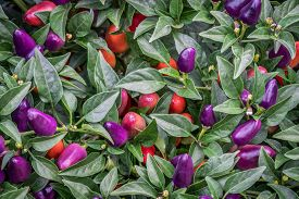 picture of loco  - background of hot loco pepper plant in garden - JPG
