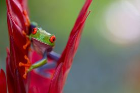 pic of red eye tree frog  - red eyed tree frog from the tropical jungle of Costa RIca and Panama Beautiful treefrog macro of an exotic rain forest animal - JPG