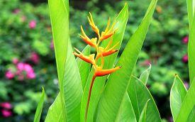 stock photo of heliconia  - Heliconia psittacorum  - JPG