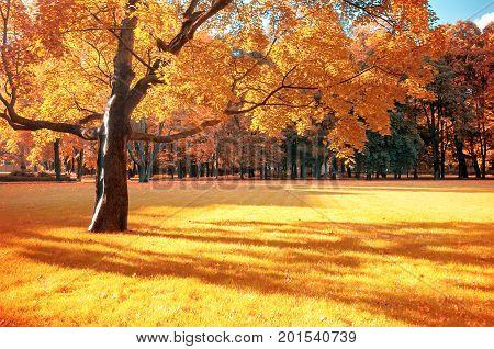 poster of Autumn landscape. Sunny autumn view of autumn park with golden autumn foliage in sunny weather. Sunny autumn landscape scene with spreading autumn maple tree in autumn park