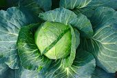Cabbage Closeup. Landscape View Of Freshly Growing Cabbage Field, Chinese Cabbage Of Plant, Freshly poster