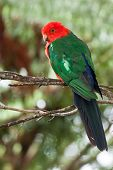 stock photo of king parrot  - Male Australian king parrot with bright red and green plumage - JPG