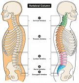 Постер, плакат: Vertebral Column of Human Body Anatomy infograpic diagram including all vertebra cervical thoracic l