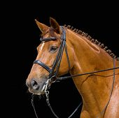 picture of black horse  - dressage - JPG