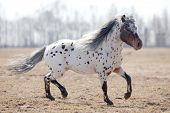 picture of appaloosa  - Beautiful pony appaloosa running in field - JPG
