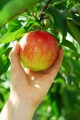 stock photo of apple tree  - Closeup on a hand picking a red apple from an apple tree - JPG