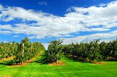 foto of apple orchard  - Apple orchard with red ripe apples on the trees under blue sky - JPG