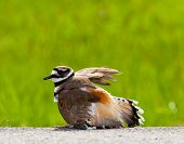 picture of killdeer  - Killdeer birds lay their eggs on the ground by the side of roads and display an aggressive posture to ward of any dangerous animals - JPG