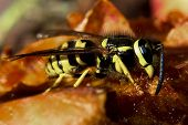 Detailed View Of A Yellow Jacket Wasp Sitting On An Apple poster