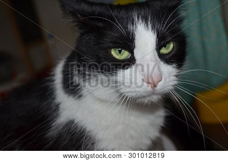 poster of A Cat In Thought. Felix Cat Domestic Cat. Cat Ordinary. Beautiful Cat. Pet. Black And White Cat.
