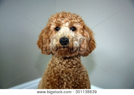 poster of Golden doodle dog. Beautiful Golden Doodle Dog portrait. Family pet.