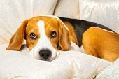Beagle Dog Falling Asleep And Take Some Rest. Dog Rests His Head On Cushion On Sofa. Background Indo poster