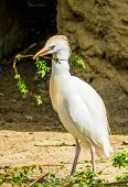 Closeup Of A Cattle Egret Holding A Branch, Heron Collecting Branches, Bird Breeding Season During S poster